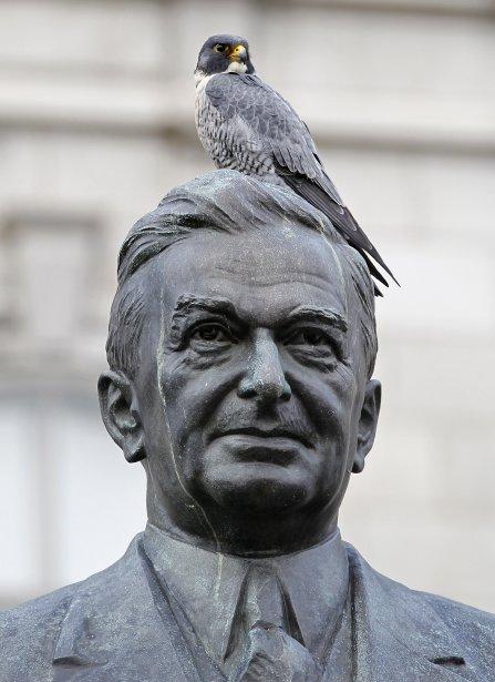 Un faucon pèlerin sur la tête de la statue du premier ministre Maurice Duplessis, près de l'Assemblée nationale | 19 décembre 2012