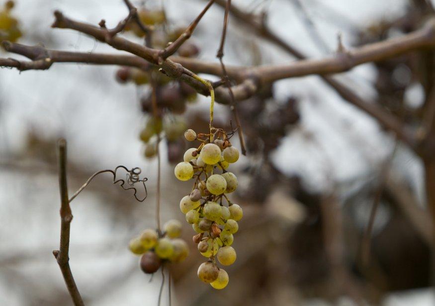Le prosecco est fait à partir de raisin Glera, particulièrement savoureux. (Martin Chamberland, La Presse)