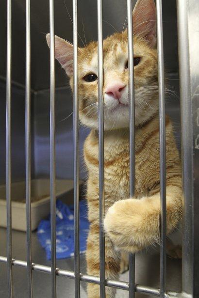 Ce chat est à l'étroit dans les locaux de la Société protectrice des animaux de Québec. Il y manque aussi bien des équipements. | 27 décembre 2012