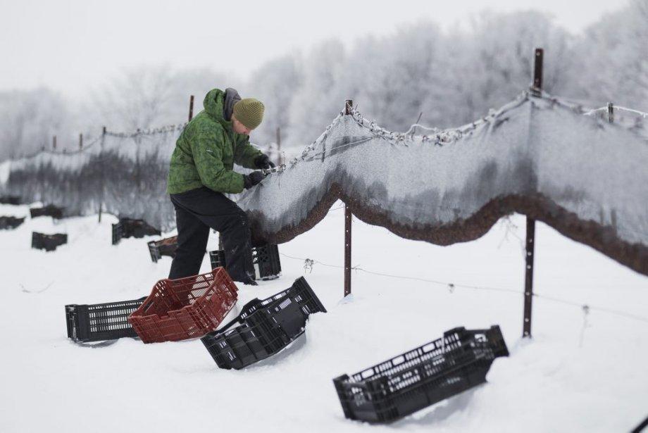 Vendanges hivernales au vignoble Rivière du Chêne. (Photo: Edouard Plante-Fréchette, La Presse)