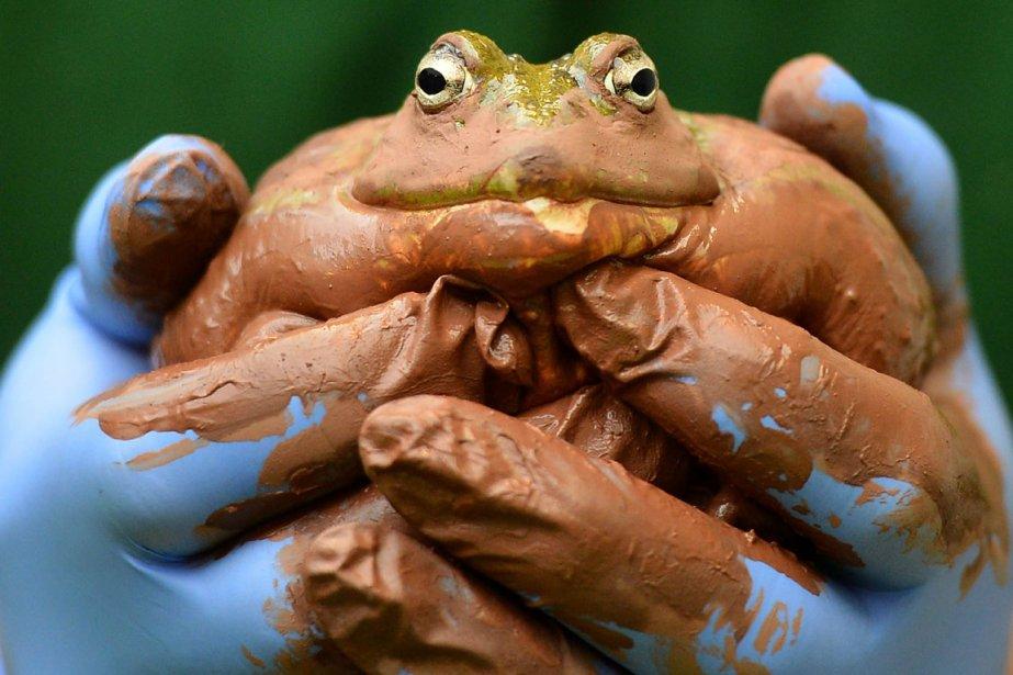 Un employé du zoo de Londres tient une grenouille dans... | 2013-01-03 00:00:00.000