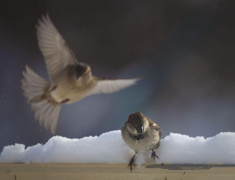Mêmes les oiseaux ont de la difficulté à trouver su stationnement en cette dure journée froide à Montréal | 3 janvier 2013