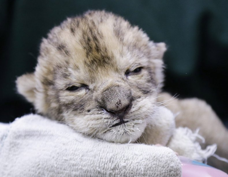 Un lionceau s'endort après l'heure du biberon au zoo d'Omaha... | 2013-01-07 00:00:00.000
