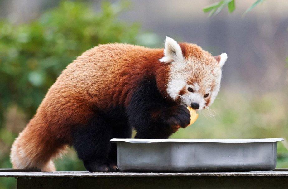 Un petit panda rouge au zoo de Dortmund en Allemagne | 7 janvier 2013