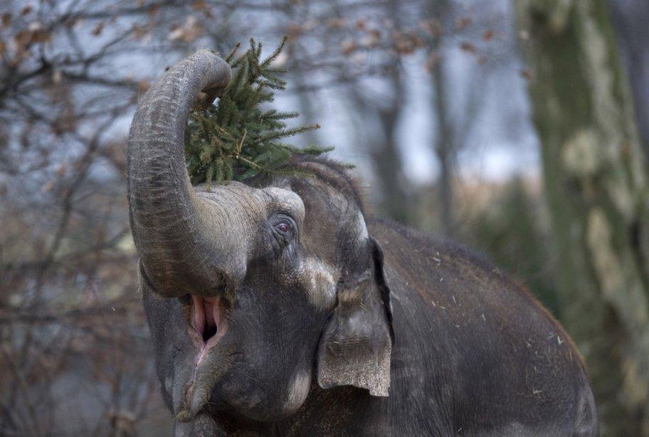 Un éléphant s'amuse avec ce qu'il reste d'un arbre de Noël au zoo de Berlin. | 7 janvier 2013