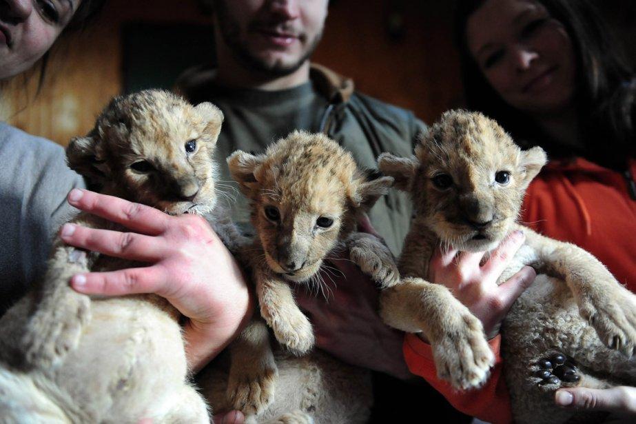 Des lionceaux posent avec des employés du zoo de Gyongos en Hongrie. | 7 janvier 2013