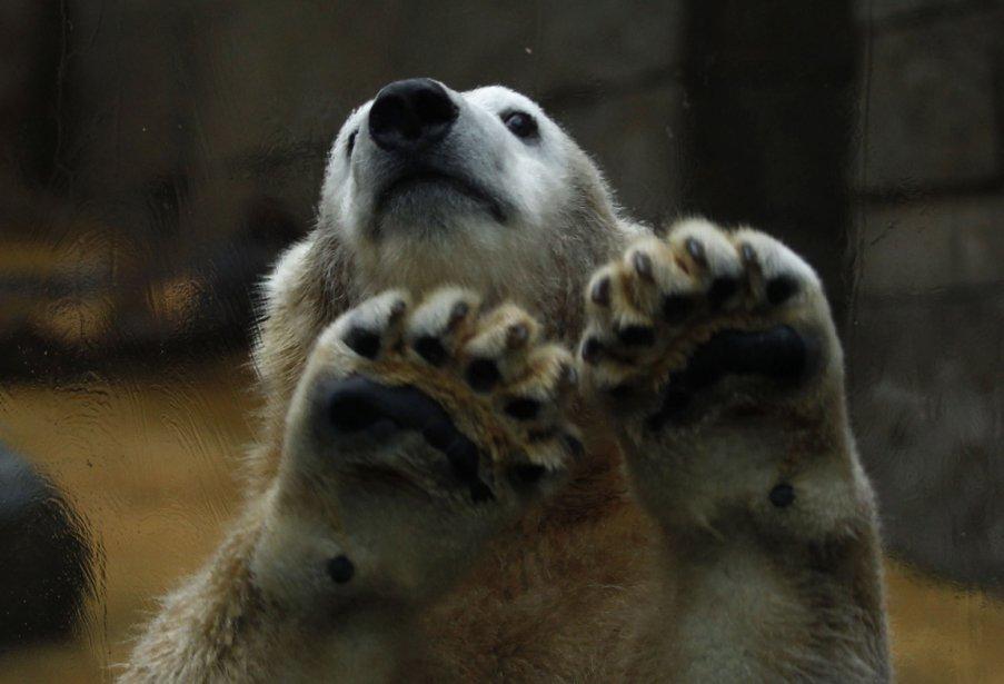 Anori, un ours polaire au zoo de Wuppertal en Allemagne | 7 janvier 2013