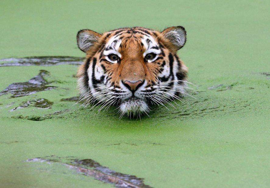 Un tigre de Sibérie au zoo de Duisberg en Allemagne | 7 janvier 2013