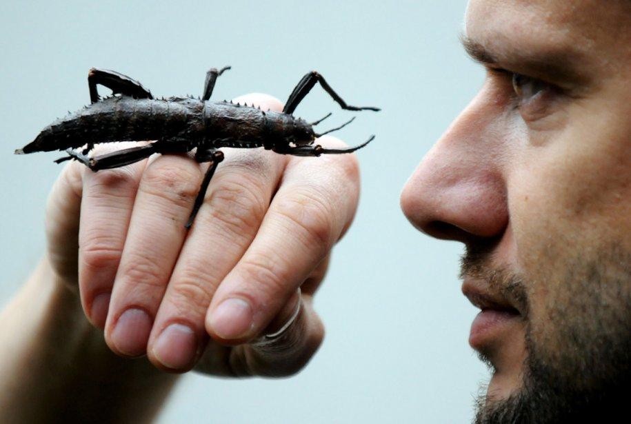 Le biologiste Volker Gruen du zoo de Duisberg avec une sauterelle géante (Trachyaretaon carmelae) sur la main. | 7 janvier 2013