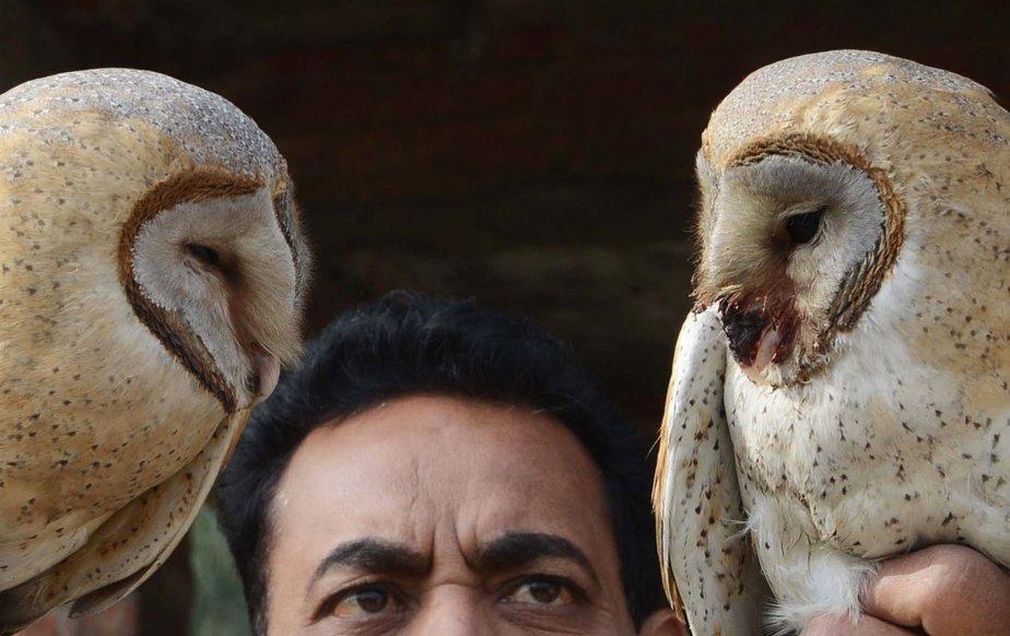 Inspecteur de la Société pour la prévention de la cruauté envers les animaux (SPCA) de l'Inde, Ashok Joshi tient deux chouettes effraies qui étaient restées prises dans la chaîne d'un cerf-volant et qui ont été secourues par les membres de la SPCA. | 8 janvier 2013
