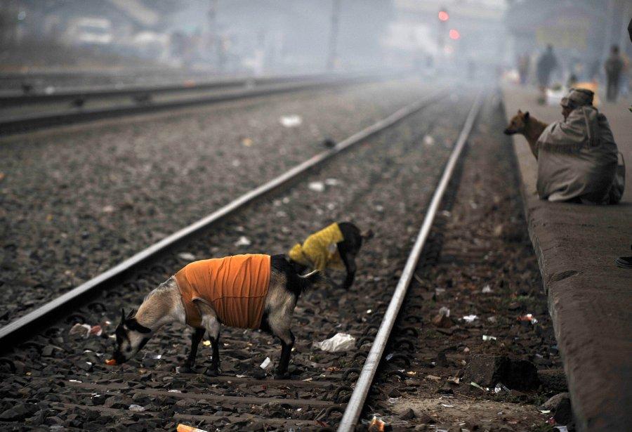 Un homme et quelques chèvres au bord du chemin de fer à la gare de Siliguri, en Inde. | 9 janvier 2013