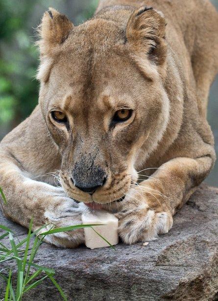 La lionne Kutchani mange un bloc de lait congelé au zoo de Taronga, à Sydney, en Australie. | 9 janvier 2013