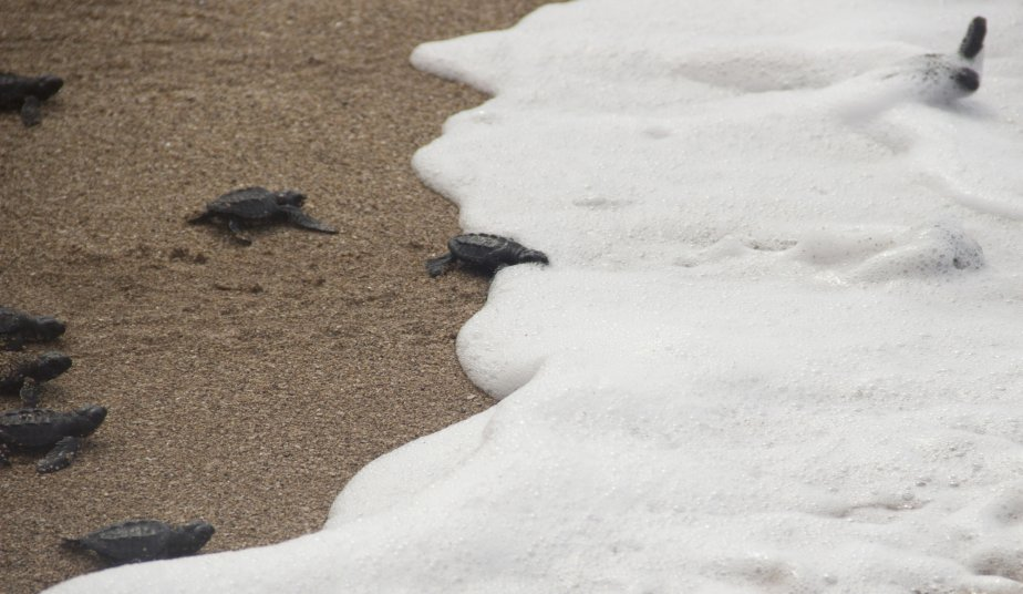 Grâce à plusieurs employés sur place, le Fundo de la iniciativa pars las tortugas, organisme qui assure la protection des tortues, s'occupe de réunir les oeufs de tortues dans un endroit protégé sur la plage. Une fois hors de sa coquille, le petit animal demeurera dans son nid pendant 45 jours avant d'être relâché dans l'océan Pacifique. (Photo: David Boily, La Presse)
