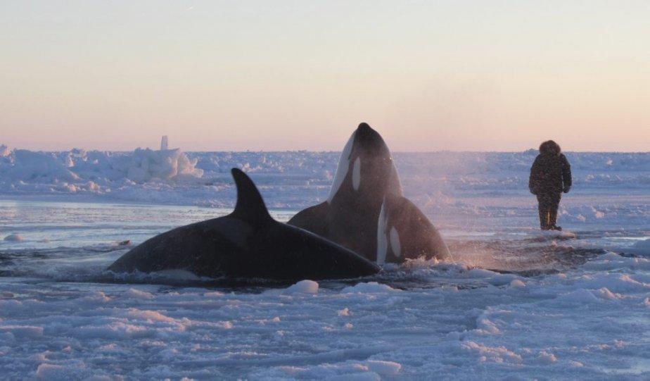 La douzaine d'épaulards qui étaient prisonniers des glaces dans la baie d'Hudson, près du village d'Inukjuak, au Québec, semblent avoir été tirés de leur fâcheuse position. Le mouvement des glaces aurait en effet permis d'ouvrir une voie de passage, permettant aux épaulards de retourner à l'eau libre, le 10 janvier. Des images spectaculaires montraient les orques se bousculant pour respirer dans un trou à peine plus grand qu'une camionnette. | 10 janvier 2013