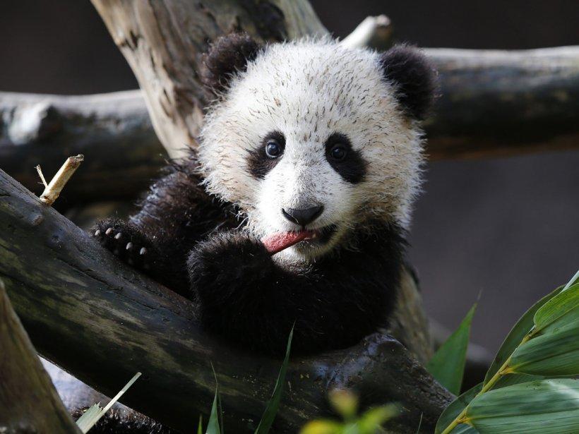 L'ourson panda Xiao Liwi fait sait première sortie publique au zoo de San Diego. | 11 janvier 2013
