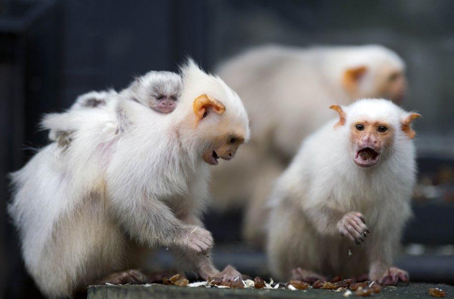 Ouistitis argentés au zoo de Whipsnade au Royaume-Uni. | 11 janvier 2013