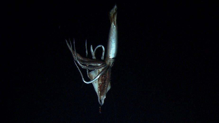 L'élusif calmar géant finalement capturé sur film au large des iles Ogasara au large du Japon | 11 janvier 2013