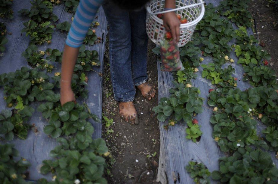 Une fille récolte des fraises à La Tigra, au Honduras. Les fraises sont cultivées pour la consommation locale. | 15 janvier 2013
