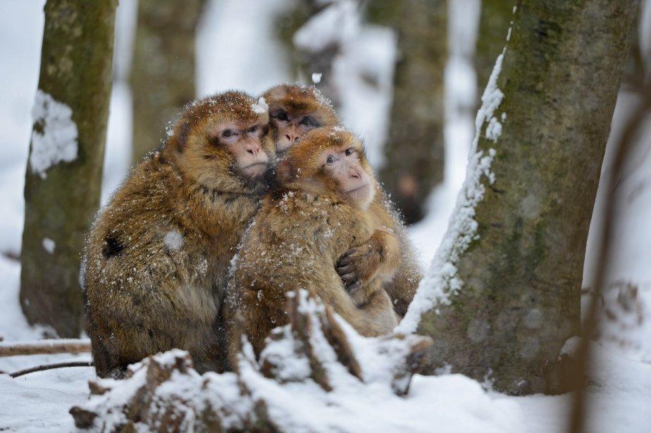 Des macaques berbères se tiennent au chaud dans la neige, au zoo près de Salem, en Allemagne. | 18 janvier 2013
