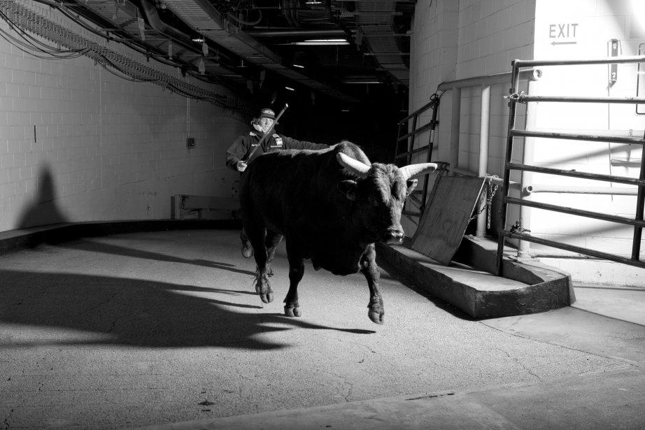 Un taureau s'apprête à entrer dans l'arène. | 18 janvier 2013