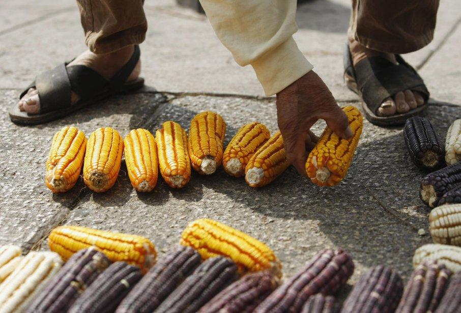 Mercredi à Mexico, des agriculteurs ont manifesté contre contre la culture de maïs trasgénique ou génétiquement modifié, qui menace l'une des denrées de base de l'alimentation au Mexique et en Amérique centrale. | 24 janvier 2013