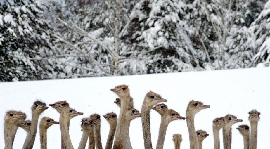 Des autruches au zoo de Kozishche en Biélorussie | 24 janvier 2013