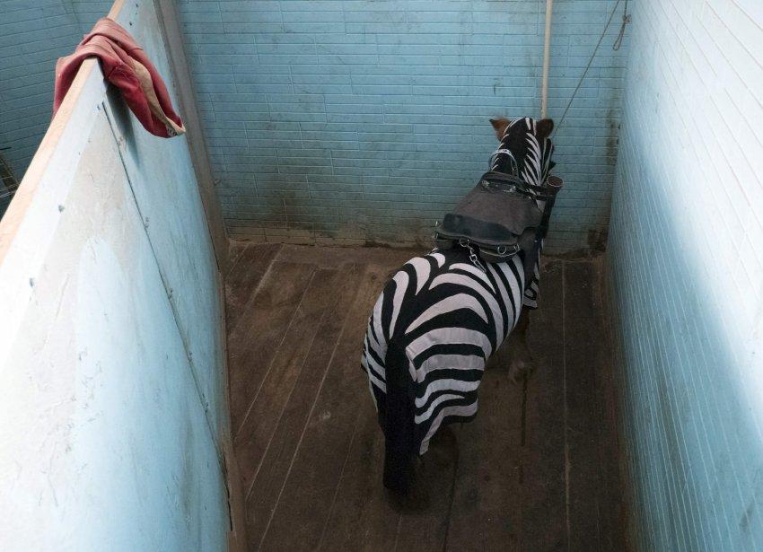 Un poney habillé en zèbre pour le Cirque national à Kiev, en Ukraine. | 25 janvier 2013