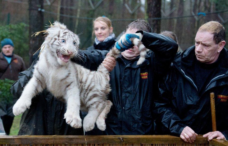 Des gardiens examinent un jeune tigre blanc né en octobre... | 2013-01-30 00:00:00.000
