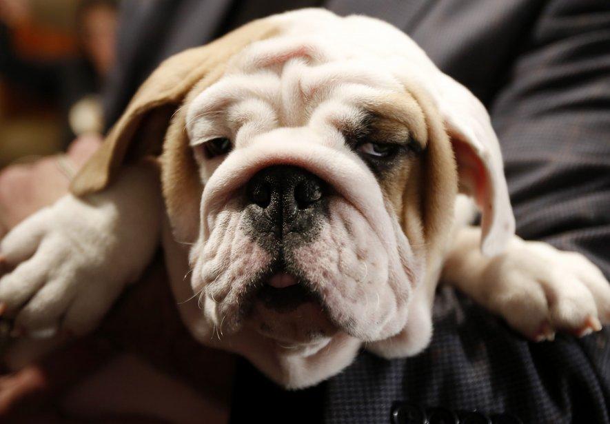 Dominique, un bouledogue de 14 mois, a-t-il de quoi se réjouir? L'American Kennel Club vient d'annoncer que le bouledogue a été le chien le plus populaire des États-Unis en 2012. Il est ainsi passé du cinquième au premier rang, une première historique. | 30 janvier 2013