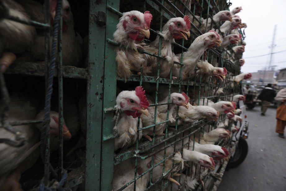 Des poulets en cage au marché de Rawalpindi au Pakistan. | 31 janvier 2013