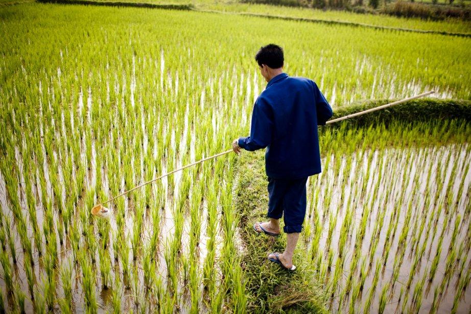 Un producteur de riz au Laos. | 31 janvier 2013