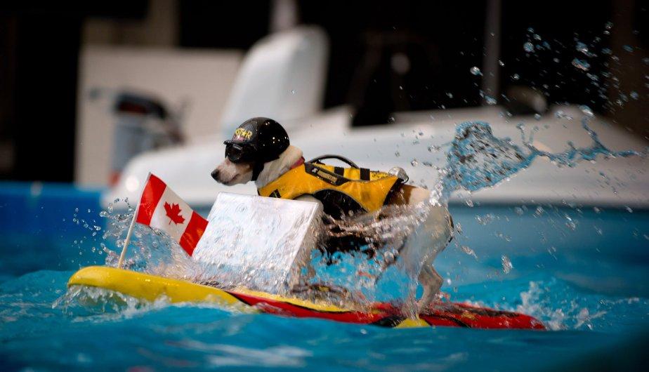 Duma, un terrier Jack Russell âgé de 7 ans, se pratique pour le International Boat Show de Vancouver. Le wakeboard est téléguidé par Cliff Bode de Chicago, le propriétaire du chien. | 6 février 2013
