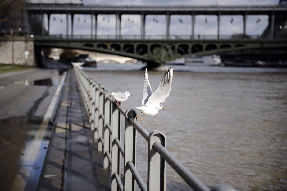 Des goélands s'envolent près de la Seine, à Paris. Les routes sur les rives de la Seine ont été fermées à la circulation en cas d'inondation. | 6 février 2013