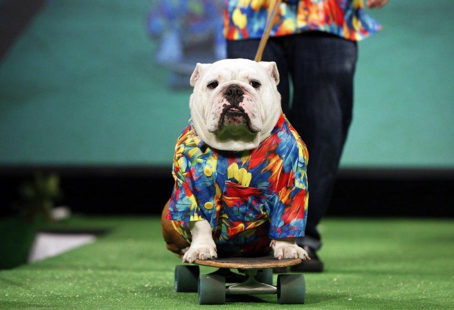Beefy, un bouledogue anglais participe à un défilé de mode canine à New York. | 8 février 2013