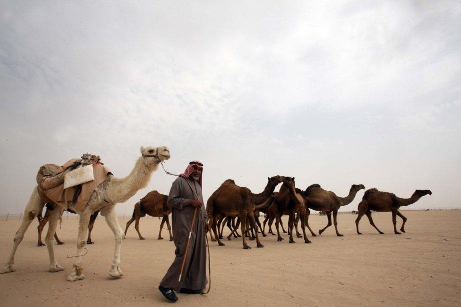 Un homme du Kuwaiti dirige un troupeau de chameaux lors d'une compétition dans le district de al-Salmi, une région désertique à 120 kilomètres à l'ouest de Kuwait City. Cette compétition fait partie du Festival de l'Héritage populaire, un événement annuel d'un mois qui commémore les activités populaires de l'histoire du Kuwaiti, dont les courses de chameaux, les concours de faucons et les compétitions de pêche. | 8 février 2013