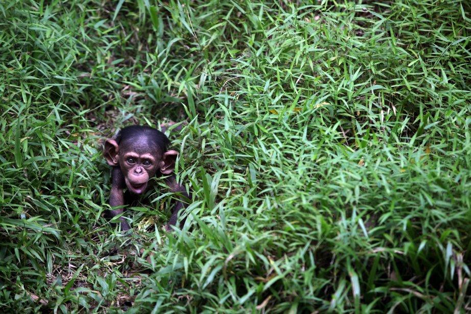 Un jeune chimpanzé de quatre mois se promène dans le zoo national de Kuala Lumpur. | 11 février 2013
