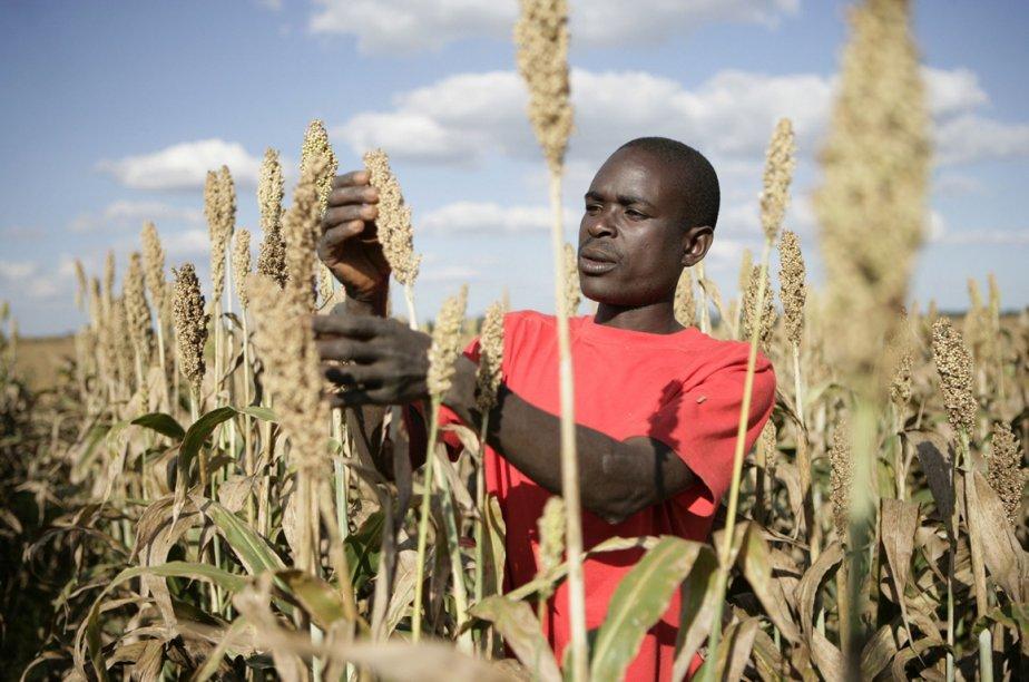 Culture du sorgho en Zambie.... (Photo AFP)