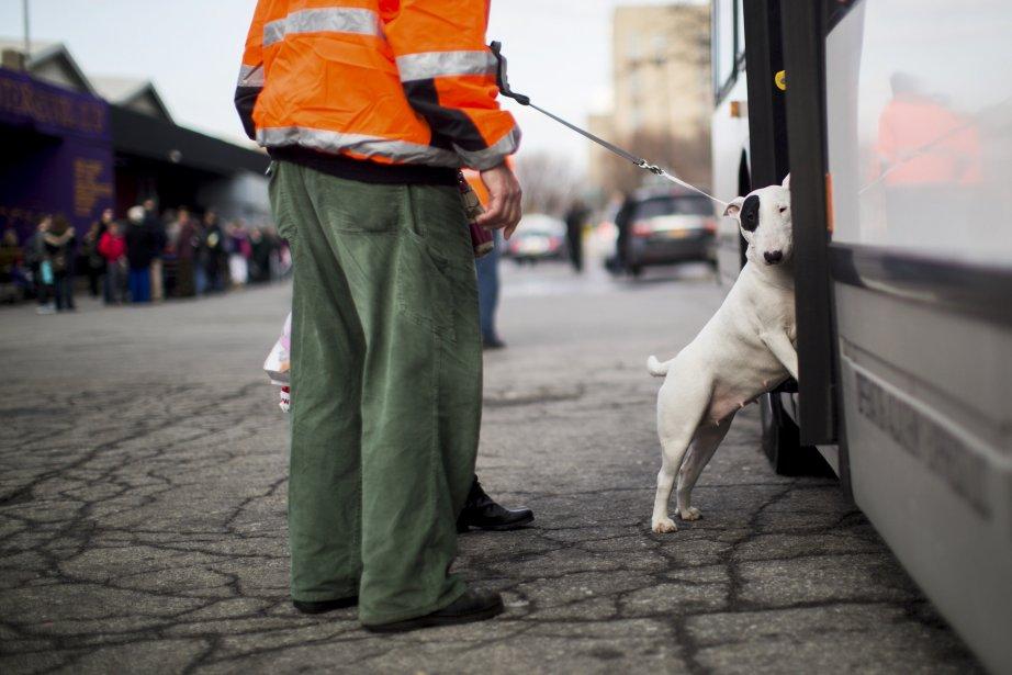 Des chiens embarquent sur un autobus pour les amener au Madison Square Garden pour l'exposition canine du Westminster Kennel Club, à New York. | 13 février 2013