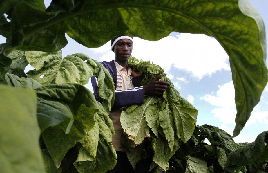 Un ouvrier agricole au Zimbabwe, Jeremia Masuku, fait la récolte du tabac à la ferme Mupfudze à Featherston. | 13 février 2013