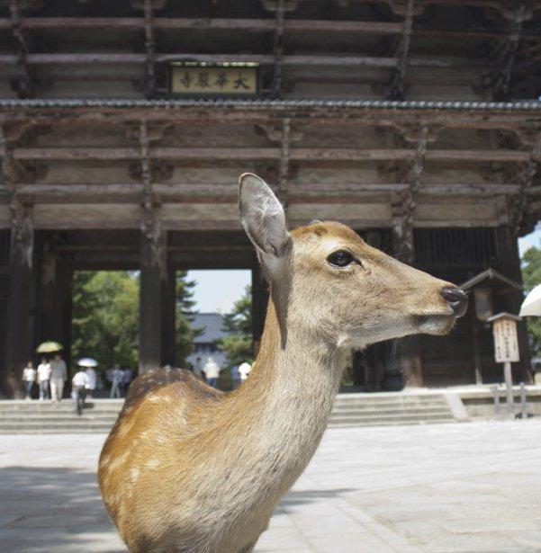 À Nara, les daims vous accompagnent partout, au gré des sentiers et des temples. (Photo Sylvain Sarrazin, La Presse)