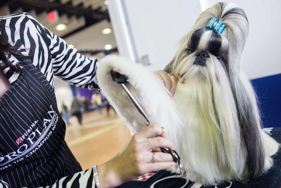 Jasper, un Shih Tzu de deux ans, photographié en coulisse, au concours canin du Westminster Kennel Club, à New York. | 15 février 2013