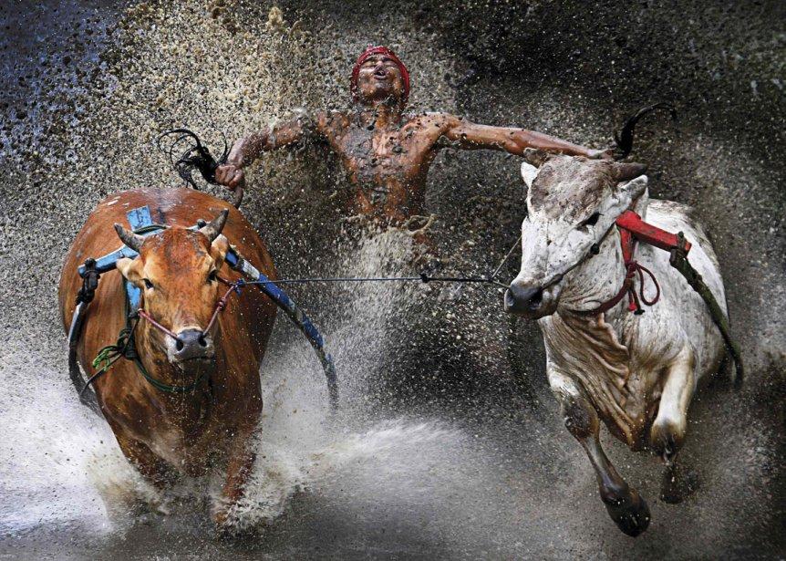 Chen Wei Seng de la Malaisie remporte le premier prix dans la catégorie «Événements sportifs uniques» pour cette photo d'un participant à la course de taureaux de Pacu Jawi en Indonésie. | 15 février 2013