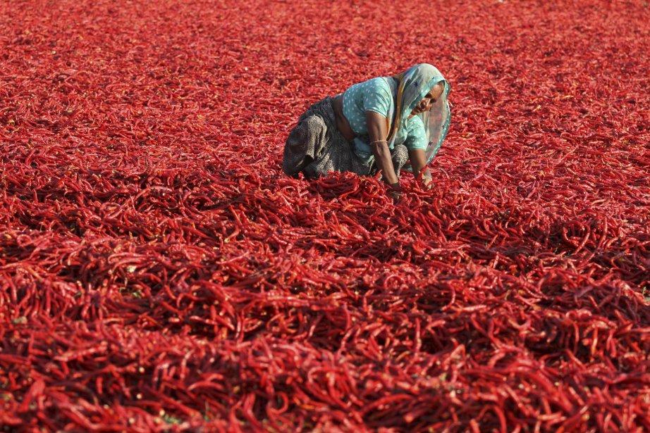 Une travailleuse indienne fait sécher des piments dans le village de Shertha, en périphérie d'Ahmadabad, en Inde. Des millions d'Indiens gagnent leur vie grâce à l'agriculture. | 19 février 2013