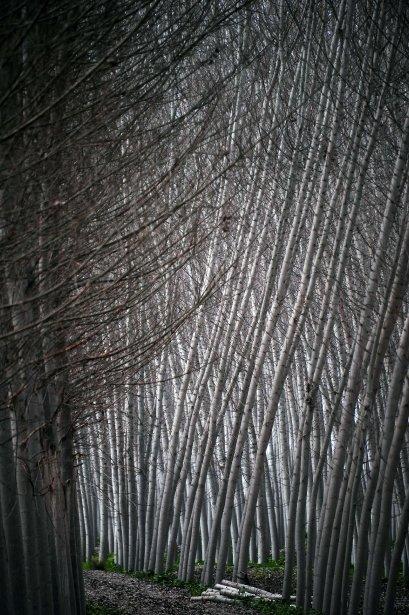 Forêt de peupliers noirs près de Grenade, en Espagne. | 21 février 2013