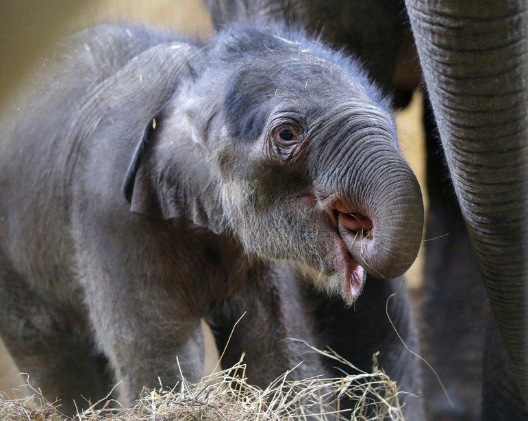 Seulement une semaine après sa naissance, un éléphanteau  fait sa première sortie publique au zoo de Budapest, en Hongrie. | 21 février 2013