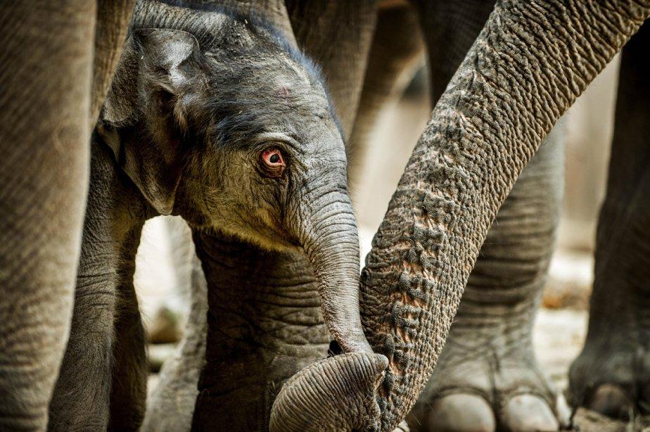 Un bébé éléphant touche le tronc de sa mère, Kungraos, au zoo de Copenhague. | 26 février 2013