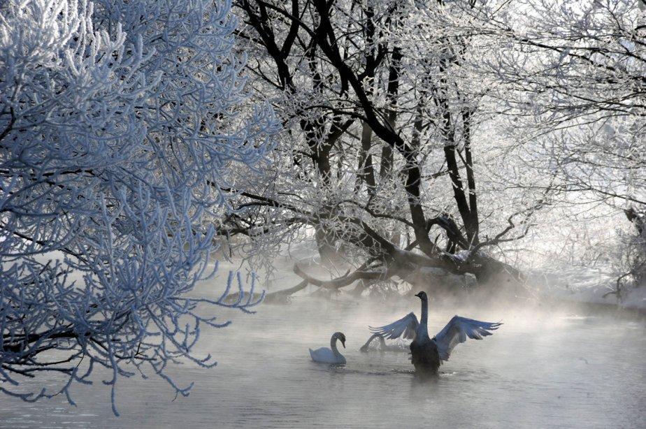 Deux cygnes sur la rivière Usiazha près du village du même nom en Biélorussie, à quelque 55 km au nord de Minsk. | 27 février 2013