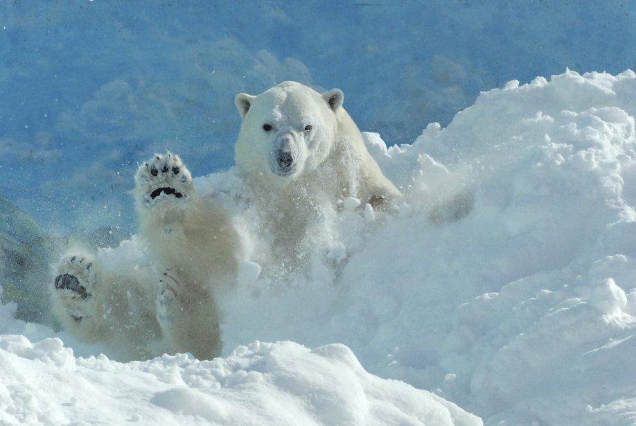 Le 27 février, c'est la Journée internationale de l'ours polaire et 2013 est également l'Année internationale de sensibilisation à la même cause. À cette occasion, l'Aquarium du Québec invite la population à se rendre sur sa page Facebook pour livrer trucs et conseils afin de diminuer lIimpact de nos actions quotidiennes sur l'habitat de l'ours polaire. Sur la photo: Eddy joue dans la neige, dans son enclos à l'Aquarium de Québec. | 27 février 2013