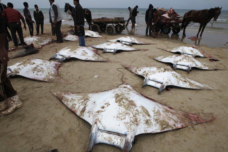 Des pêcheurs palestiniens récupèrent des raies manta échouées sur la plage à Gaza. | 28 février 2013