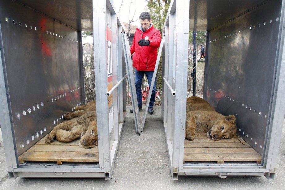 Deux lions sous sédatifs en voie d'être transportés dans un zoo public, à Bucarest. Quatre lions et deux ours ont été saisis sur la propriété d'un usurier après son arrestation et déplacés dans un zoo par un organisme de défense des animaux. La loi roumaine interdit aux particuliers de garder des animaux sauvages. | 28 février 2013
